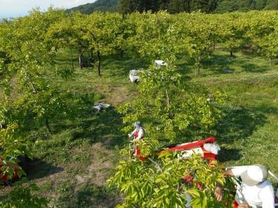 柿の摘果始まる