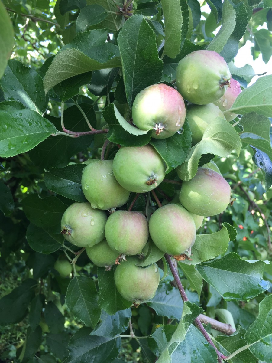 りんごの摘果
