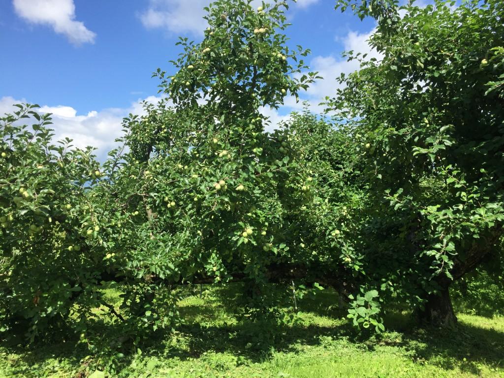 6月のりんご畑(横に伸びる木)