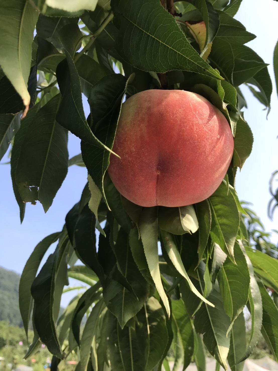 8月上旬の桃畑(あかつき❶)