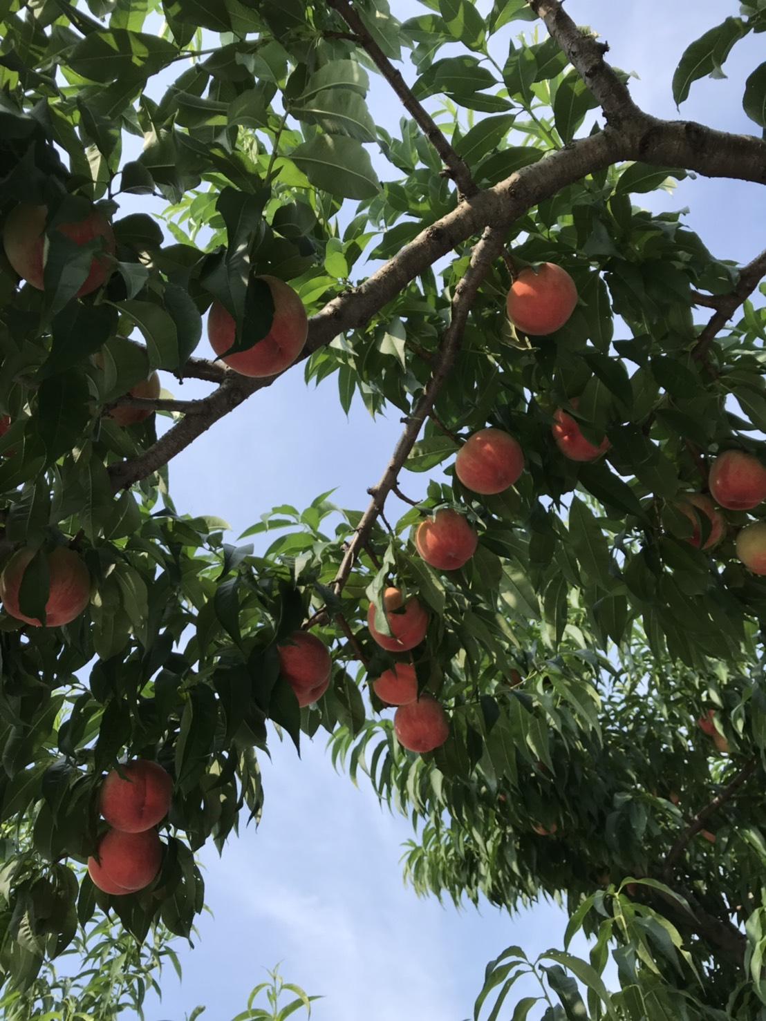 8月上旬の桃畑(あかつき❷)