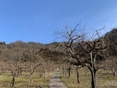 2月上旬の柿畑と青空