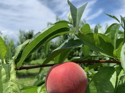 桃の収穫終了からの…
