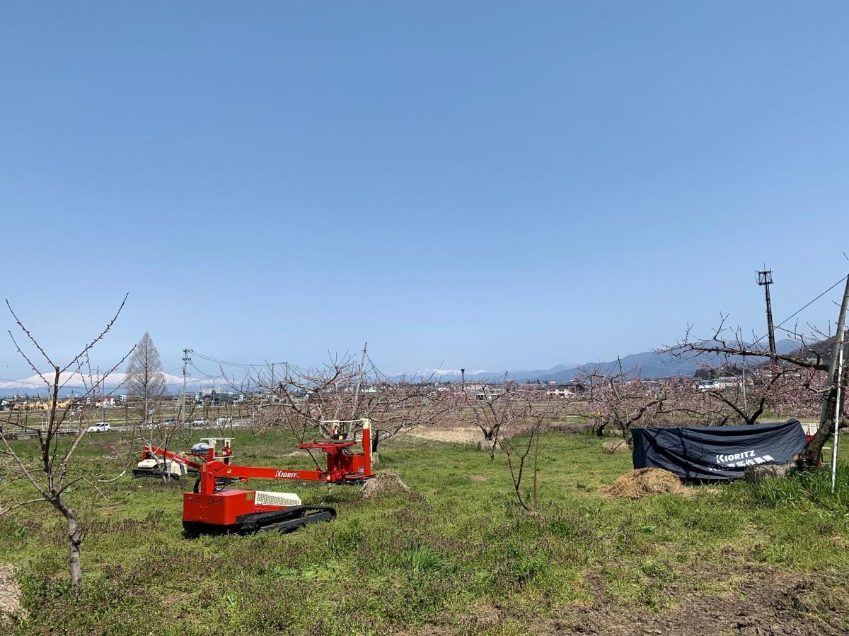 4月中旬の桃畑