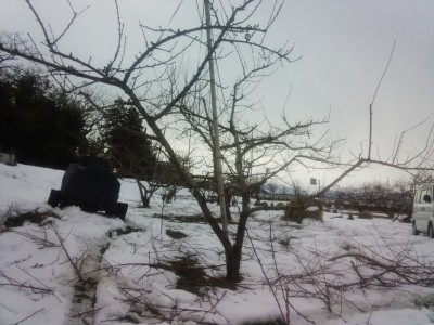 桃の木の剪定