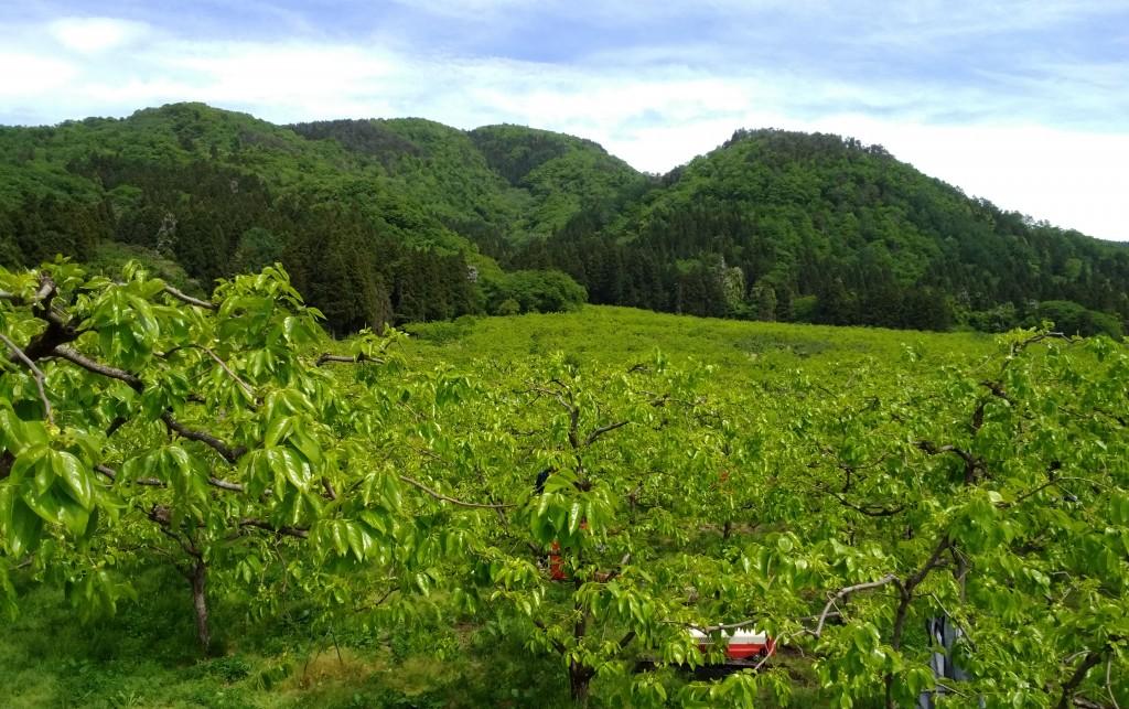 5月下旬の柿畑と山