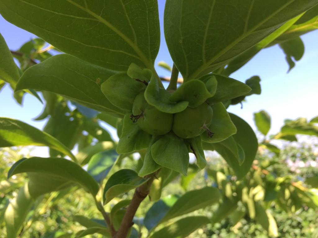 6月下旬の柿畑(摘果 結合❷)