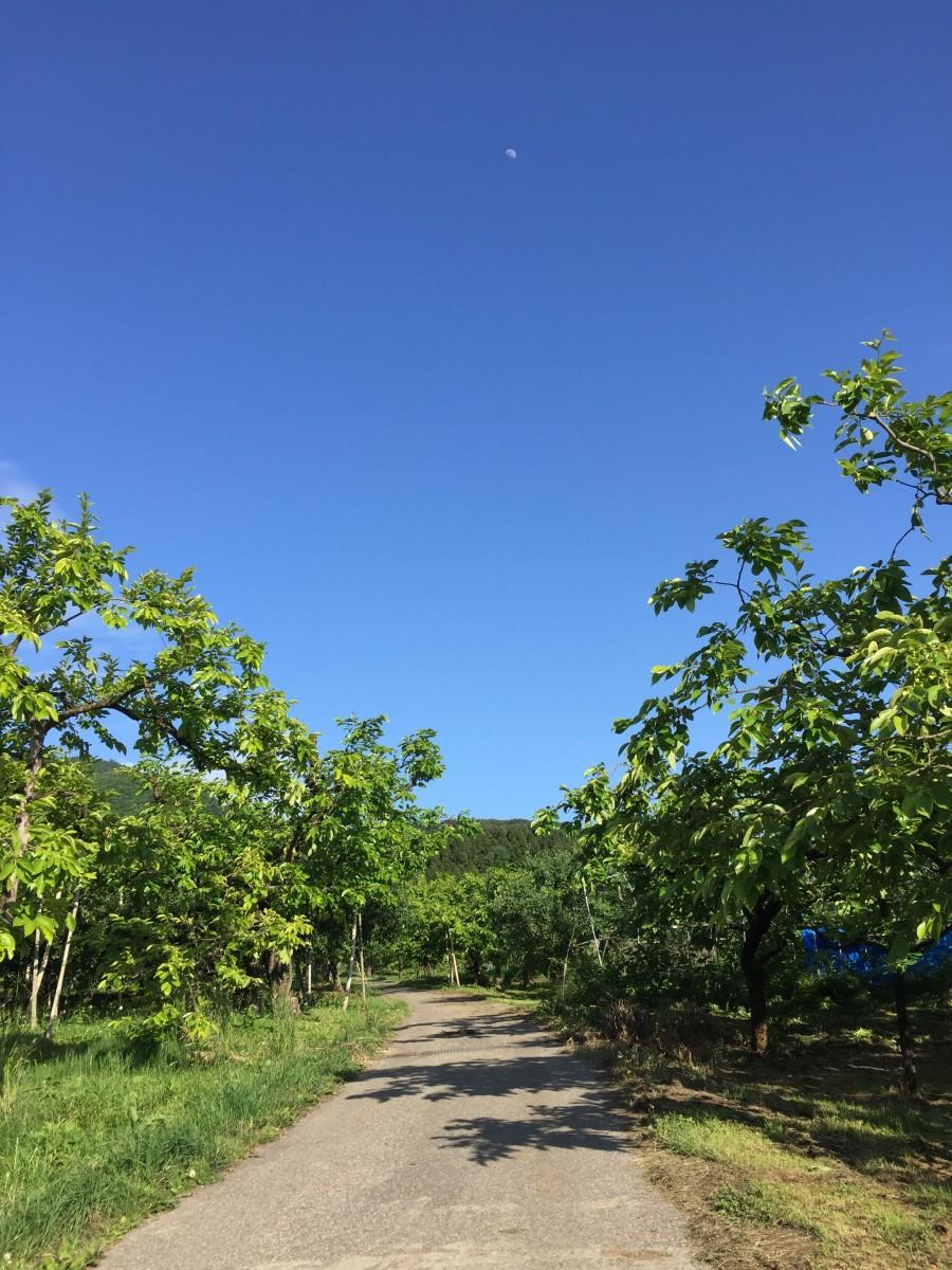 7月中旬の柿畑と青空