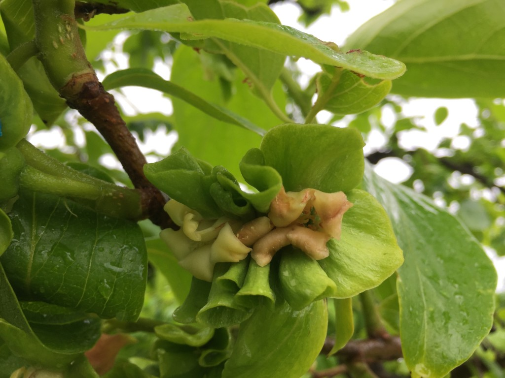 6月上旬の柿畑(摘果 結合➊)