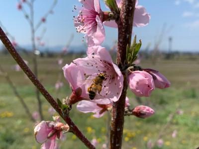 4月下旬の桃畑