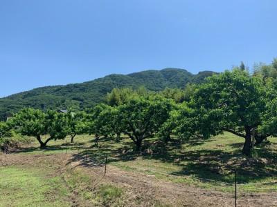 6月下旬の桃畑