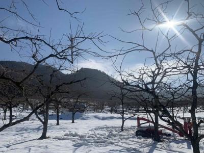 柿の剪定(1月下旬)