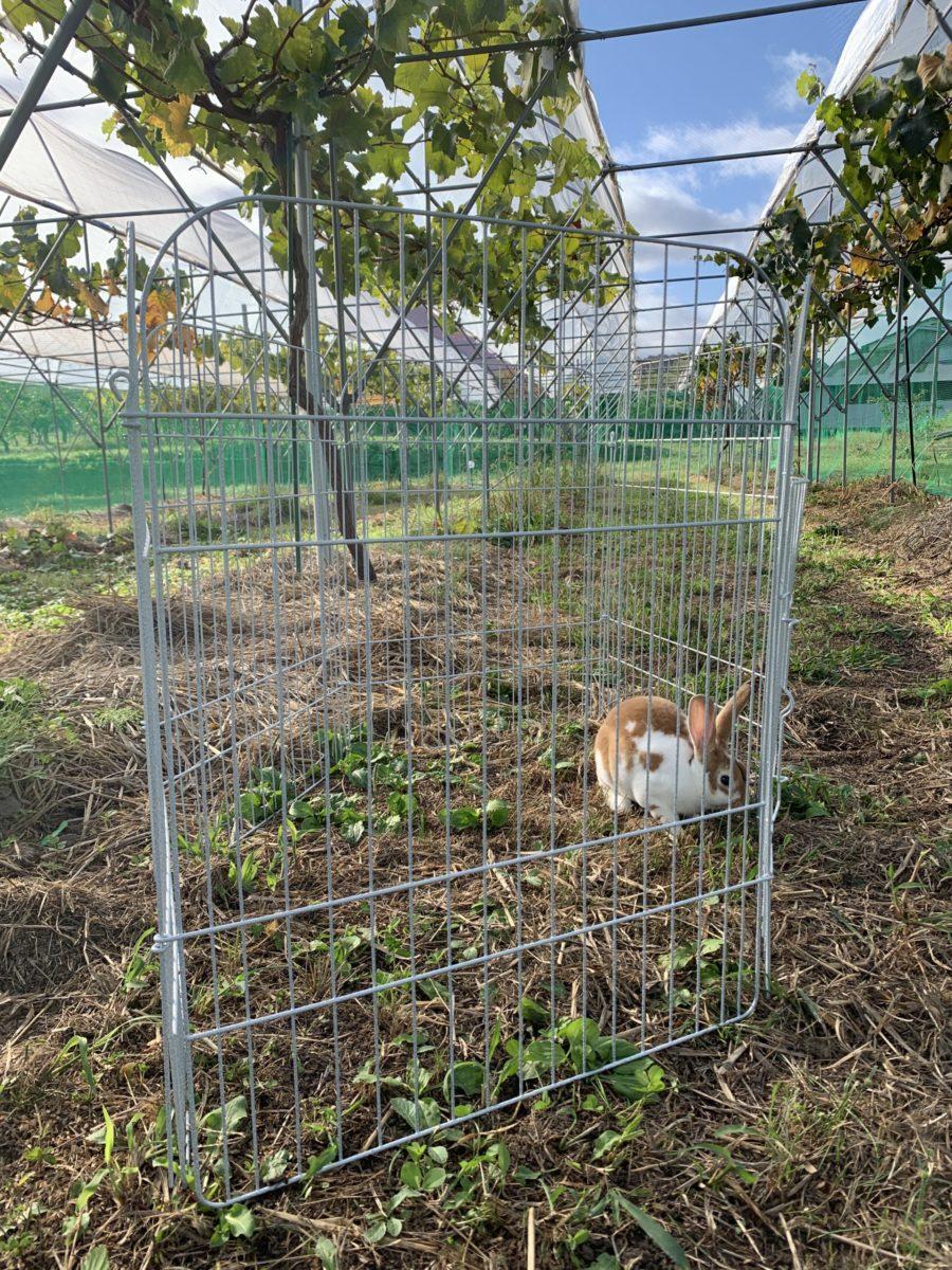 畑を楽しむウサギ